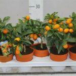Прививка абрикоса на абрикос весной
